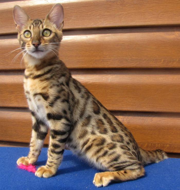 талантливого порода кошек с леопардовым окрасом фото всего это