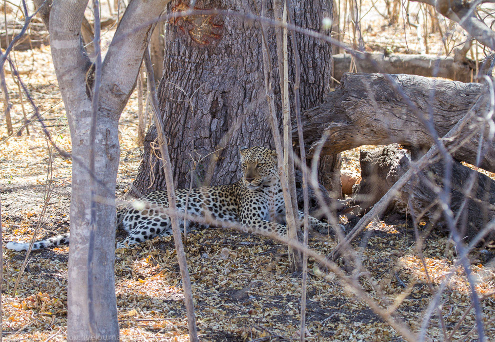 Leopard life in the lens