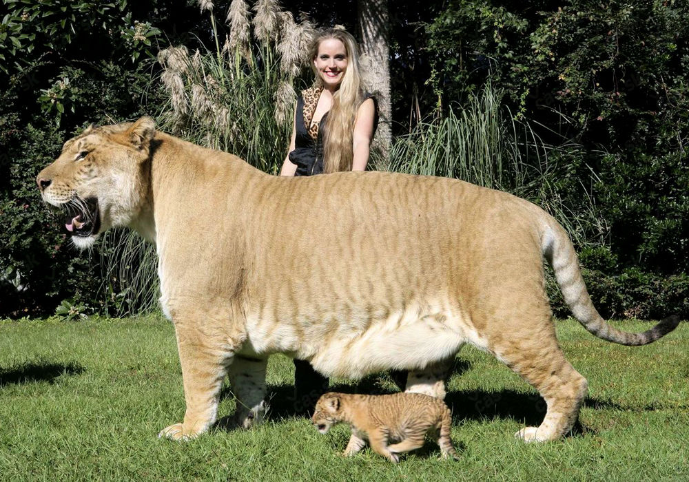 male lion weight - 1000×700