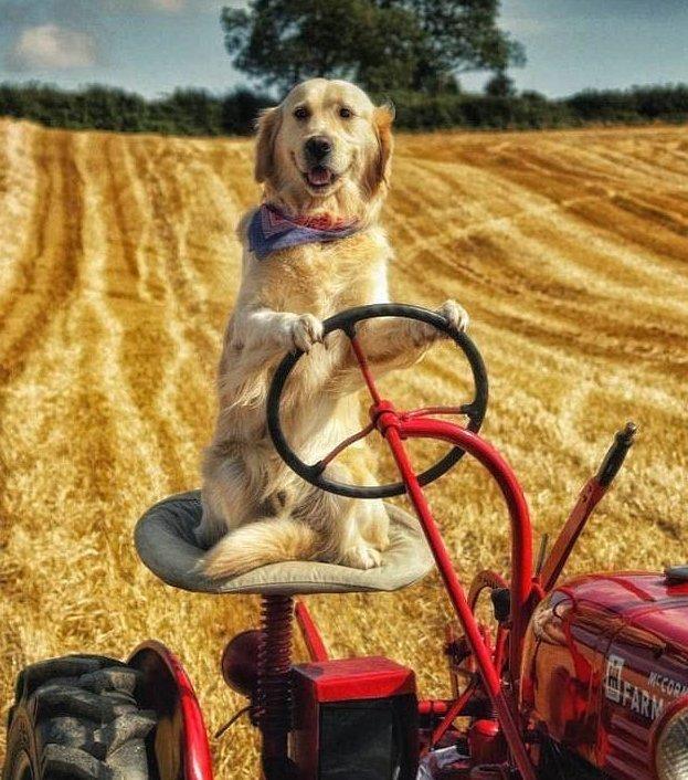 Conductor de perros tractor ayuda a su amo en la granja.