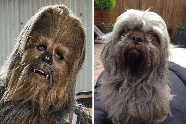 dog that looks like chewbacca - 640×426