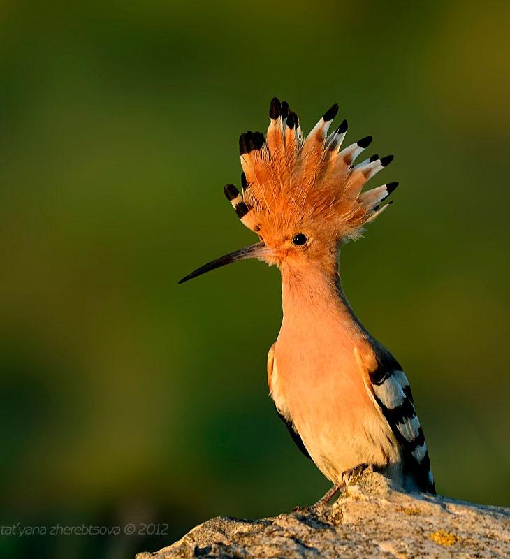 картинки удод птицы стоит