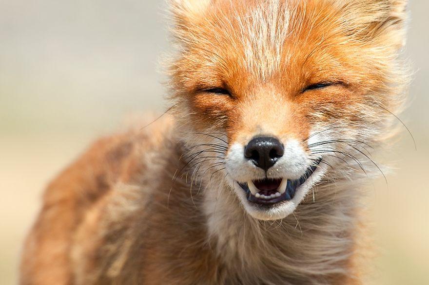Лисичка улыбается картинки