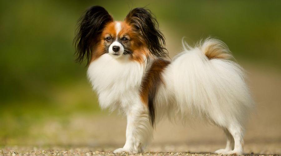 Rating of the smartest dog breeds