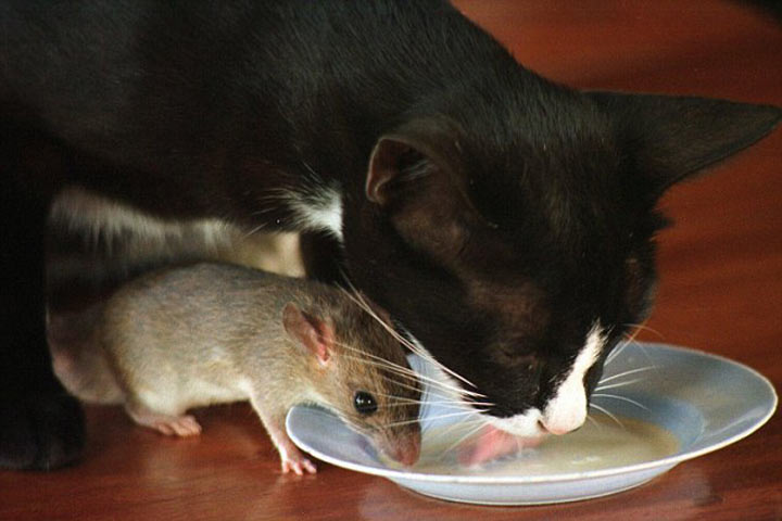 Мышка для котика