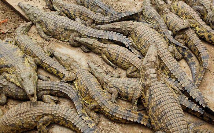 15 тысяч крокодилов сбежали с фермы в ЮАР