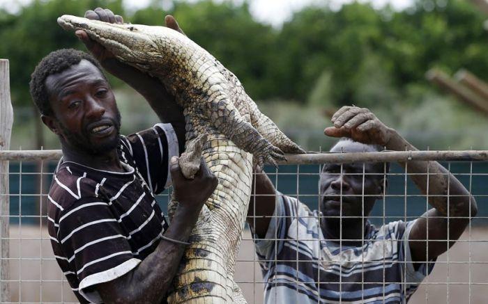 15 тысяч крокодилов сбежали с фермы в ЮАР (9 фото)
